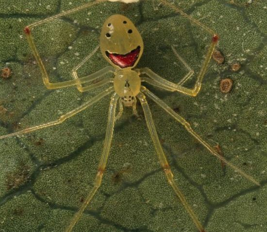 Hapy-Face-spider